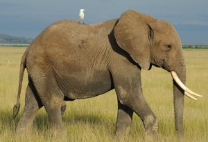Bird on elephant